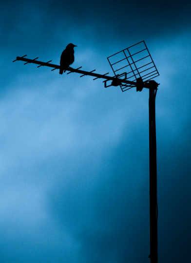 Pajaro en antena